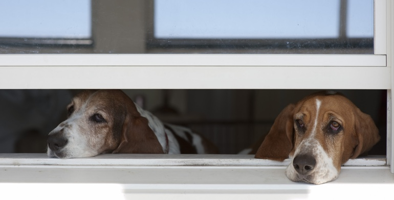 Beagles look out open window without window treatment in Raleigh.